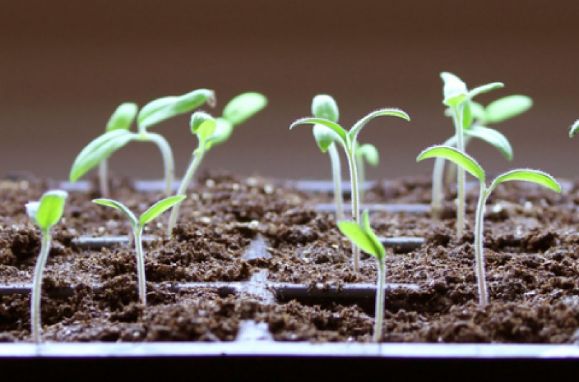 seedlings in spring