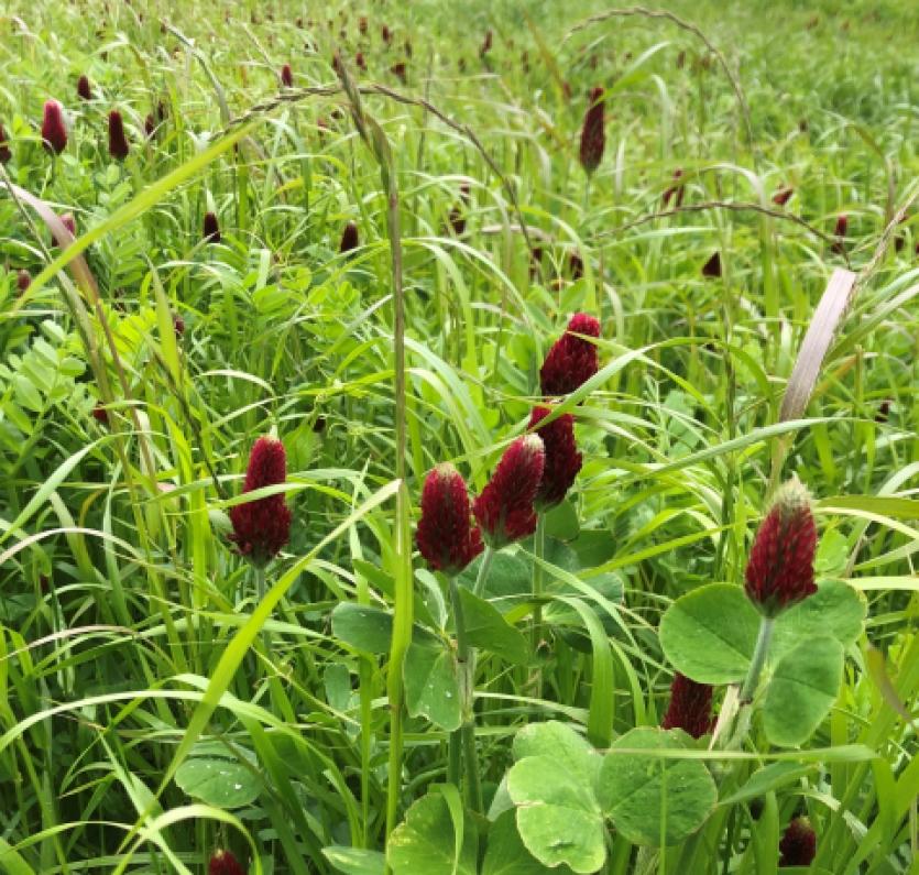 organic crop rotation crimson clover
