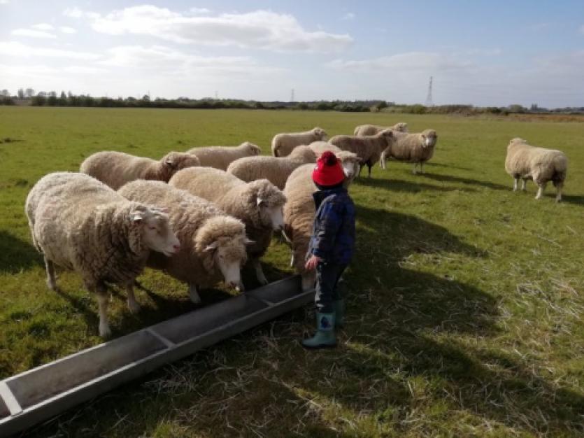 Sarah Green's Sheep