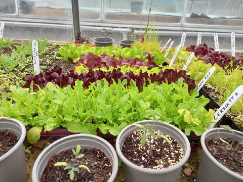 organic salad seedlings wolves lane