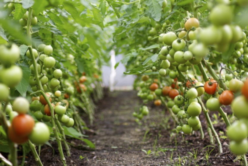 tomatoes in glasshouse