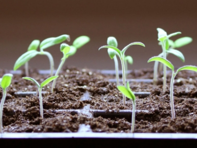 seedlings in spring