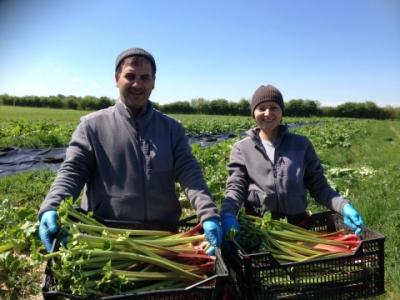 rhubarb harvest sarah greens organics