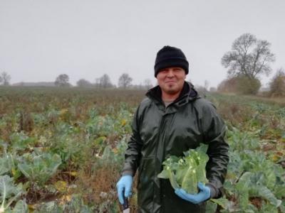 Bob of Sarah Green's organics harvesting cauliflowers