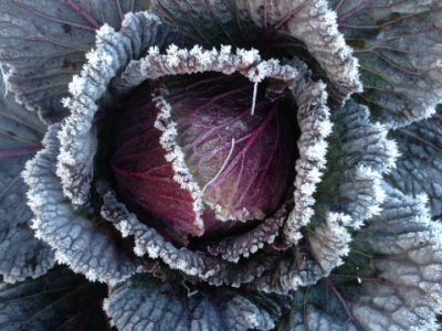frosty january king cabbage
