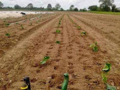 A field on Sarah Green's Organics farm