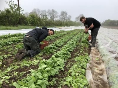 harvesting spinach at Ripple Farm
